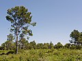 Aleppo Pine in Sainte Lucie Island.jpg