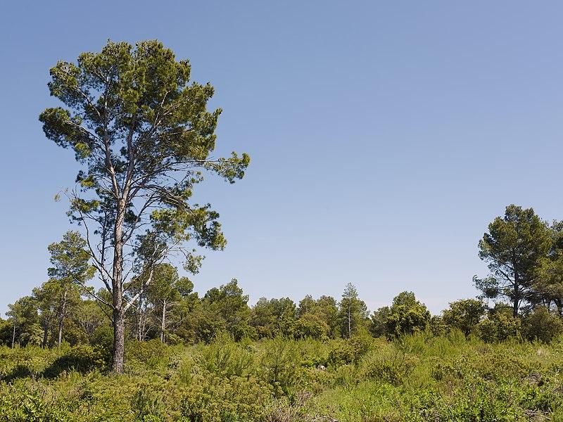 An Aleppo Pine (Pinus halepensis). Sainte Lucie regional nature reserve. Port-la-Nouvelle, Aude, France. Narbonnaise en Méditerranée Regional Natural Park.