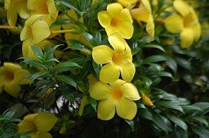 Goldtrompete (Allamanda cathartica)