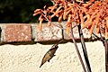 Allen's Hummingbird (40497384003).jpg