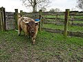 Allennes-les-Marais. Highland (race bovine).jpg