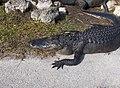 Alligator in Shark Valley^ - panoramio (6).jpg