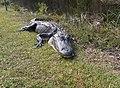 Alligator in Shark Valley^ - panoramio (7).jpg