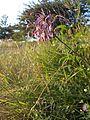 Allium carinatum subsp. carinatum sl2.jpg
