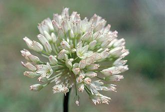 Allium howellii - Image: Allium howellii (Howell's onion) (5724554963)