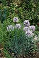 Allium senescens (5298052391).jpg