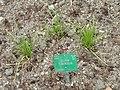 Allium tuberosum - Copenhagen Botanical Garden - DSC07676.JPG