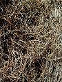 Allocasuarina inophloia bark at Ilanot arboretum-RJP.jpg