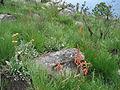 Aloe rhodesiana - Gorongosa 5 (10246541776).jpg
