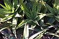 Aloe vera 6zz.jpg