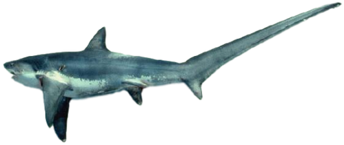 500px Alopias vulpinus