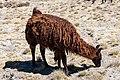 Alpaca (Vicugna pacos), Laguna de Salinas, Arequipa, Perú, 2015-08-02, DD 43.jpg