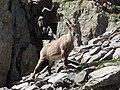 Alpine Ibex (Bouquetin) @ Path from L'Index to Col de la Gliere @ Hike to Lacs des Chéserys, Lac Blanc, Lac Cornu & Lacs Noirs @ Chamonix (15174915348).jpg
