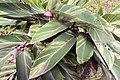Alpinia zerumbet 17zz.jpg