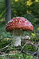Amanita muscaria 1 (21266007654).jpg