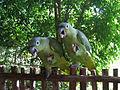 Amazona farinosa -Guatemala -eating banana-8 (2).jpg