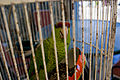 Amazona finschi -small round cage-6a.jpg
