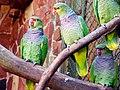 Amazona vinacea -Sao Paulo Zoo, Brazil -8a.jpg