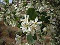 Amelanchier utahensis (5065733701).jpg