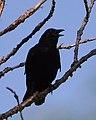 American Crow (Corvus brachyrhynchos) - Kitchener, Ontario 2019-07-28.jpg