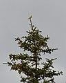 American Goldfinch (Spinus tristis) - St. John's, Newfoundland 2019-08-08.jpg
