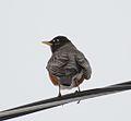 American Robin (33369137821).jpg