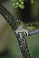 American Spikenard (Aralia racemosa) - Saratoga Springs, New York 2015-08-22 (01).jpg