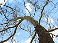 American Sycamore (32977417222).jpg