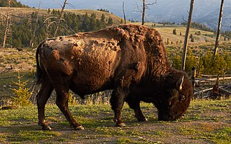 United States - The national mammal, an American bison in Yellowstone National Park, Wyoming