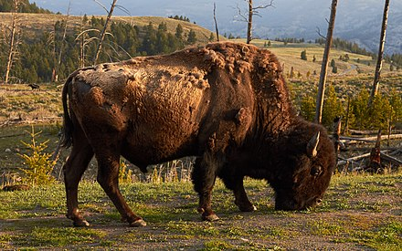 The national mammal, an American bison in Yellowstone National Park, Wyoming American bison in Yellowstone National Park.jpg