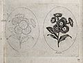 An Auricula plant; two flowering stems, one in outline only. Wellcome V0044173.jpg
