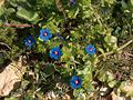 Anagallis arvensis blu Sardinia LM.jpg