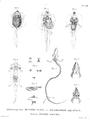 Anatomy-amphibian-larvae-Humboldt-Zoologie-T13p254.png