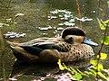 Anatra ottentotta (Zurich zoo).jpeg