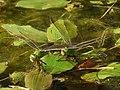 Anax parthenope julius(Couple,Japan,17.09.12).jpg