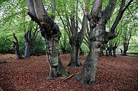 Ancient pollards Epping Forest High Beach Essex England.jpg