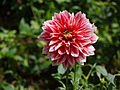 And some dahlias too (7777963344).jpg