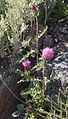 Andersons thistle Cirsium andersonii plant.jpg