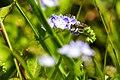 Andrena sp. (39974873510).jpg