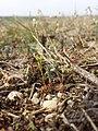 Androsace elongata sl56.jpg