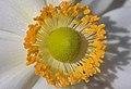 Anemone hupehensis var. japonica-bloom-stamen front PNr°0602.jpg