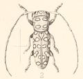 Ann. S. Afr. Mus. Vol. I Pl. VII Fig. 2.png
