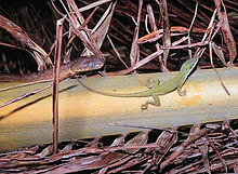 Anole and snake.jpg