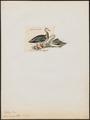 Anser indicus - 1820-1863 - Print - Iconographia Zoologica - Special Collections University of Amsterdam - UBA01 IZ17600147.tif
