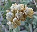 Antennaria umbrinella 3.jpg