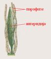 Anteridija.PNG