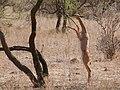 Antilope girafe debout (cropped)2.jpg