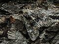 Apamea illyria (40406115944).jpg