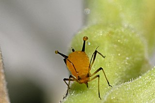 How to Get Rid Of Aphids: Top 10 Super Clever Natural Ways