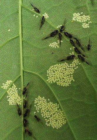 Patterns in nature - Composite patterns: aphids and newly born young in arraylike clusters on sycamore leaf, divided into polygons by veins, which are avoided by the young aphids